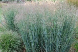 Heavy Metal Switchgrass